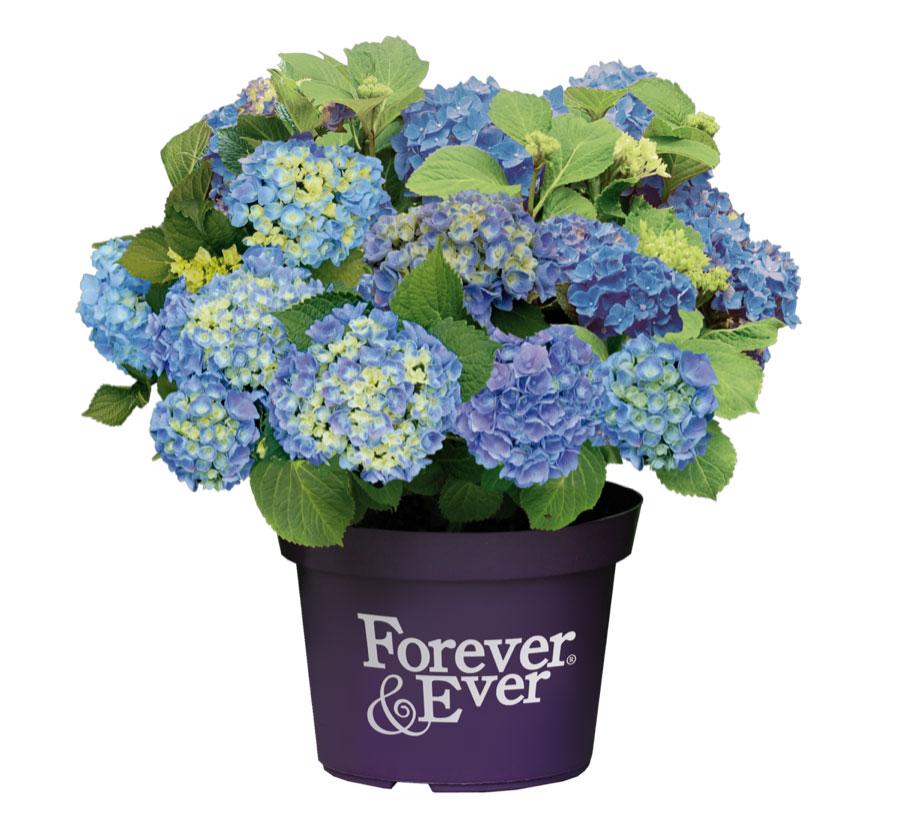 Hortensje ogrodowe Forever&Ever®