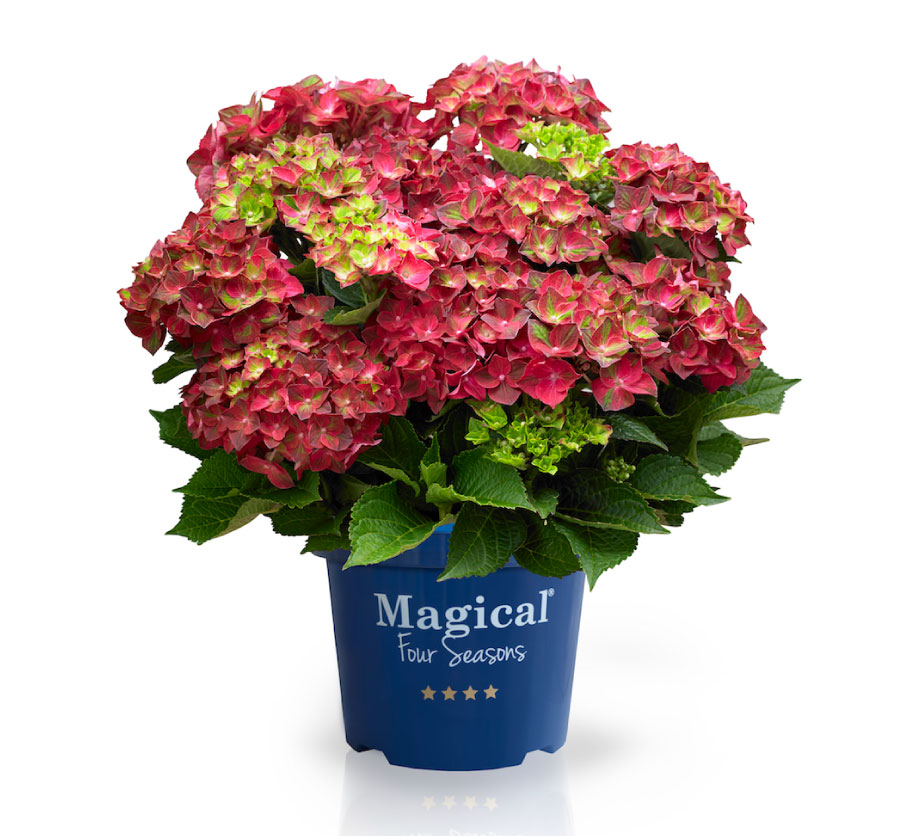 Hortensje Magical ® Four Seasons